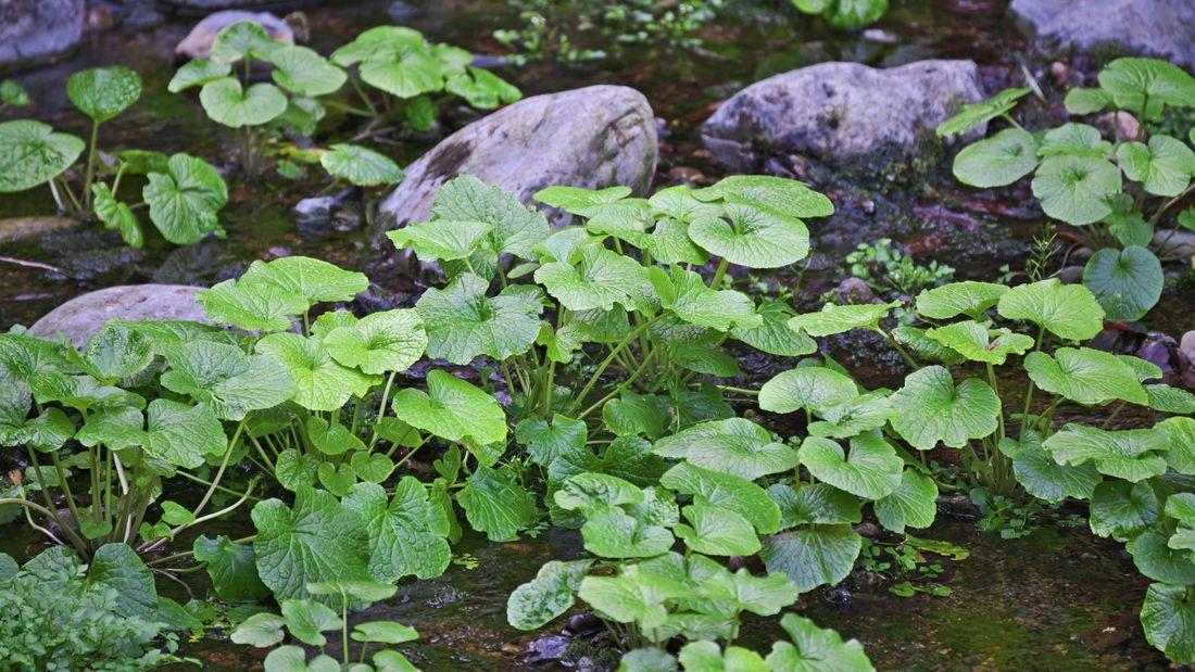 Wasabi plants growing among rocks beside water