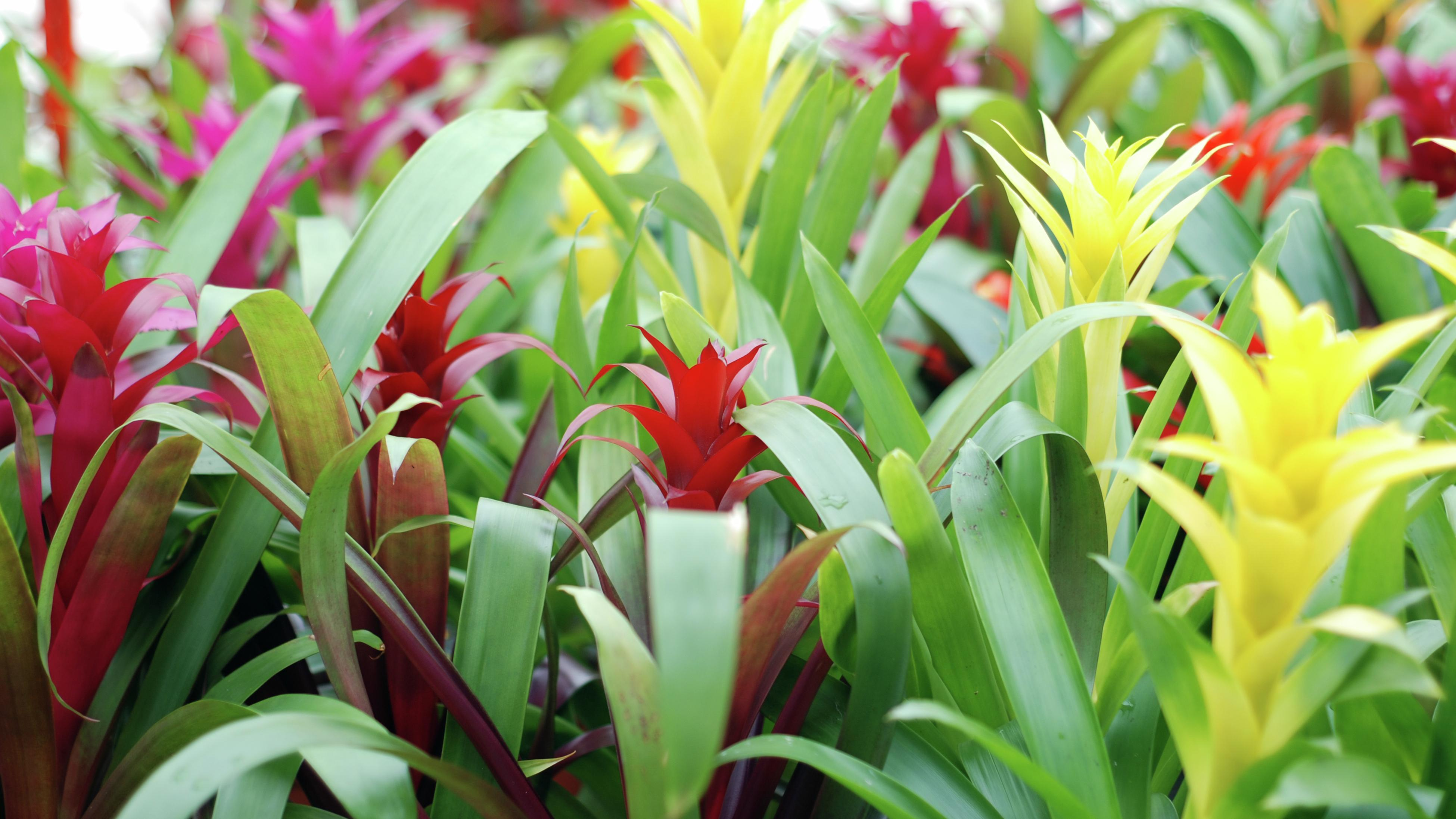 Brightly coloured bromeliads in reds, yellows and pinks.