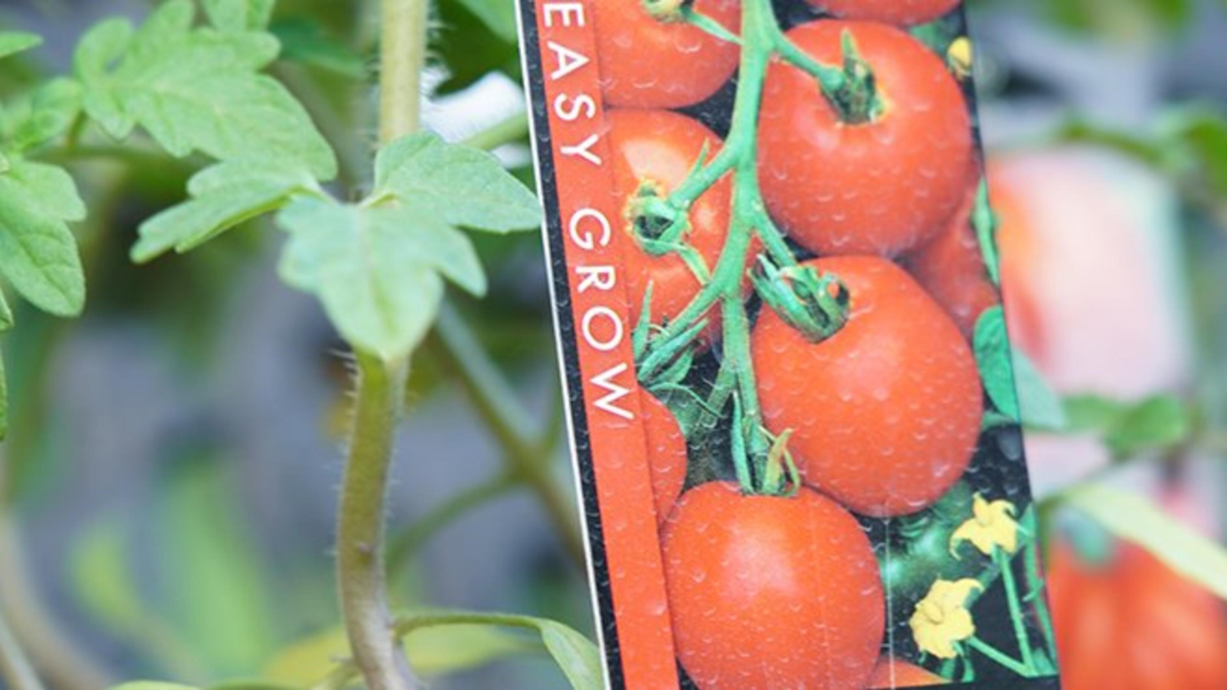 A close up of a tomato plant
