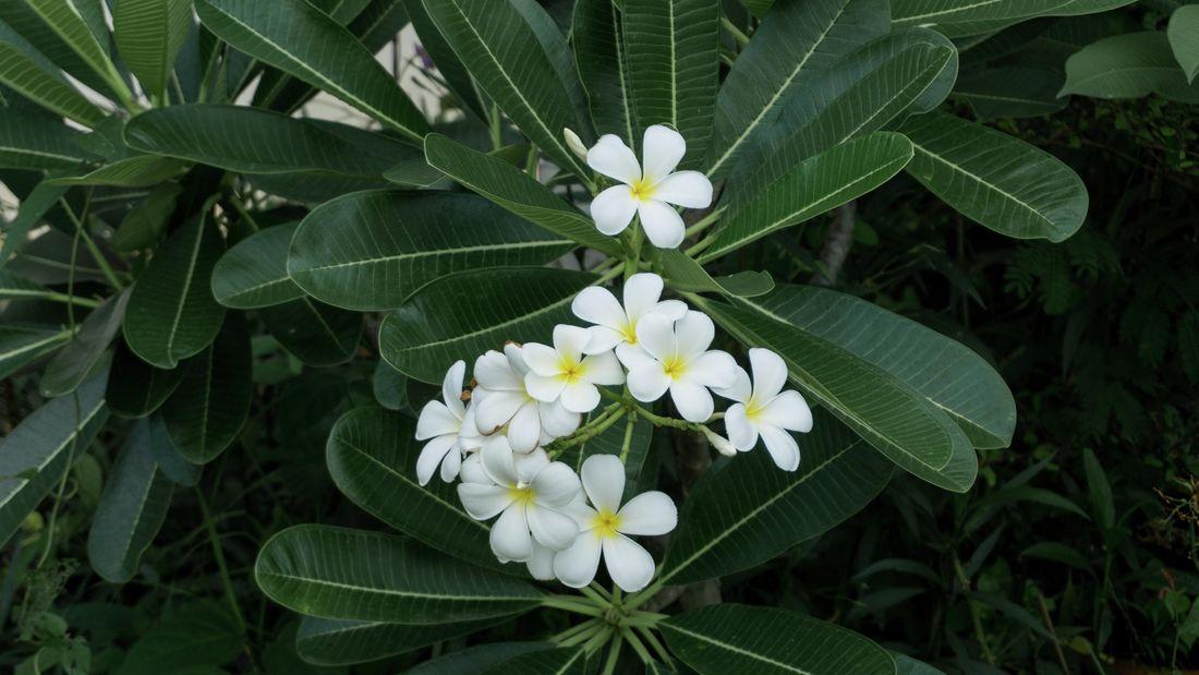 Frangipani flowers grow outside on a plant.