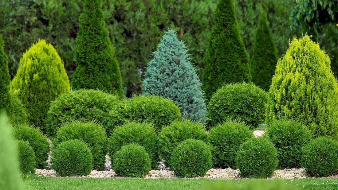 garden with conifer trees in different sizes