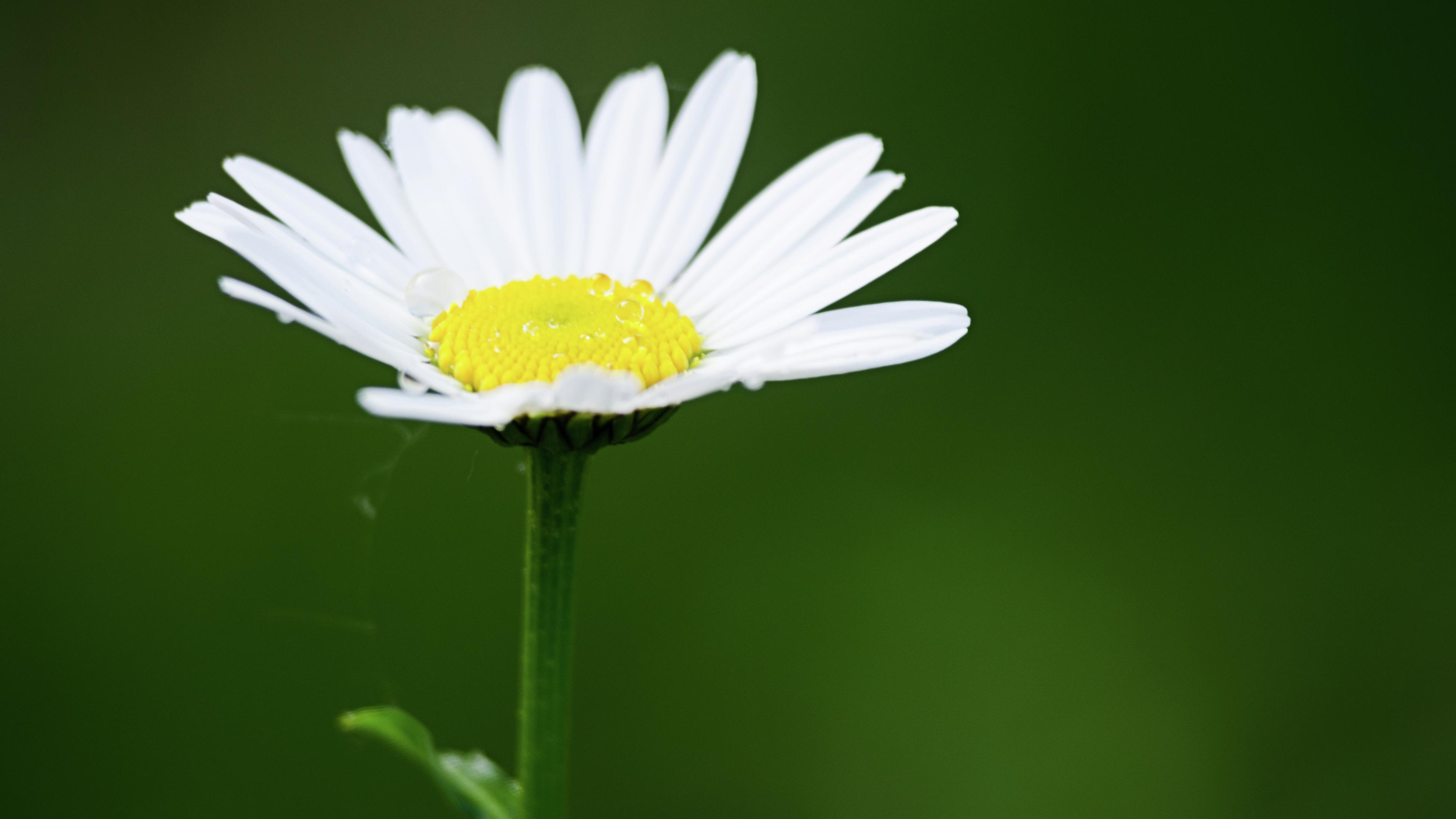 close up of a pyrethrum daisy