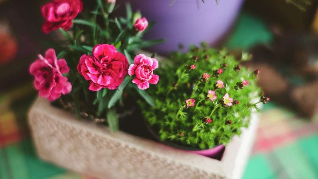 potted dianthus flowers from a high angle