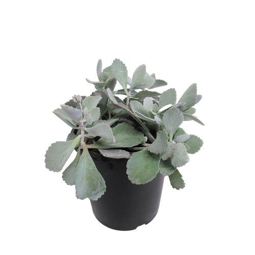 2.4L Flower Dust Plant - Kalanchoe pumila