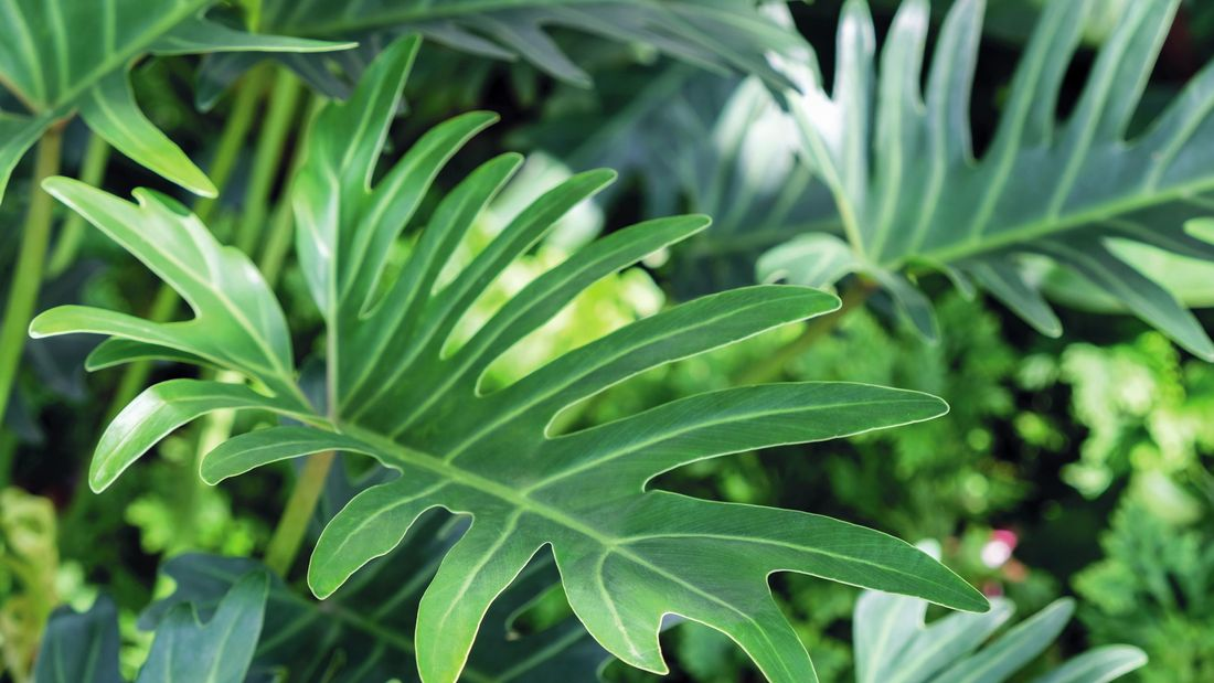 Close up of a Monstera plant's dark green leaves.