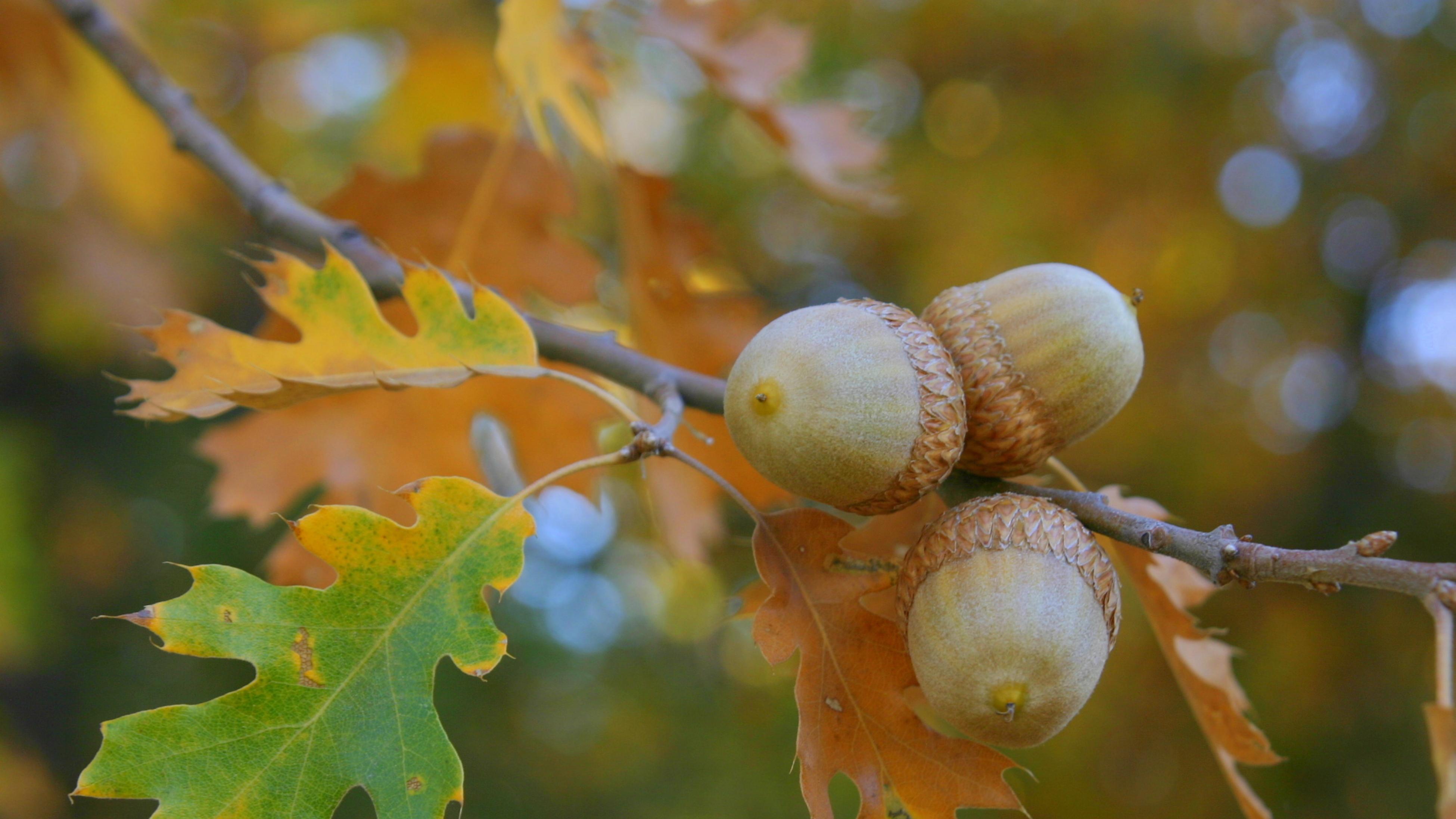 Acorns on tree with oak leaves