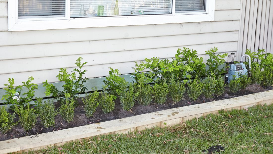 A row of young hedge plants that will grow into shape