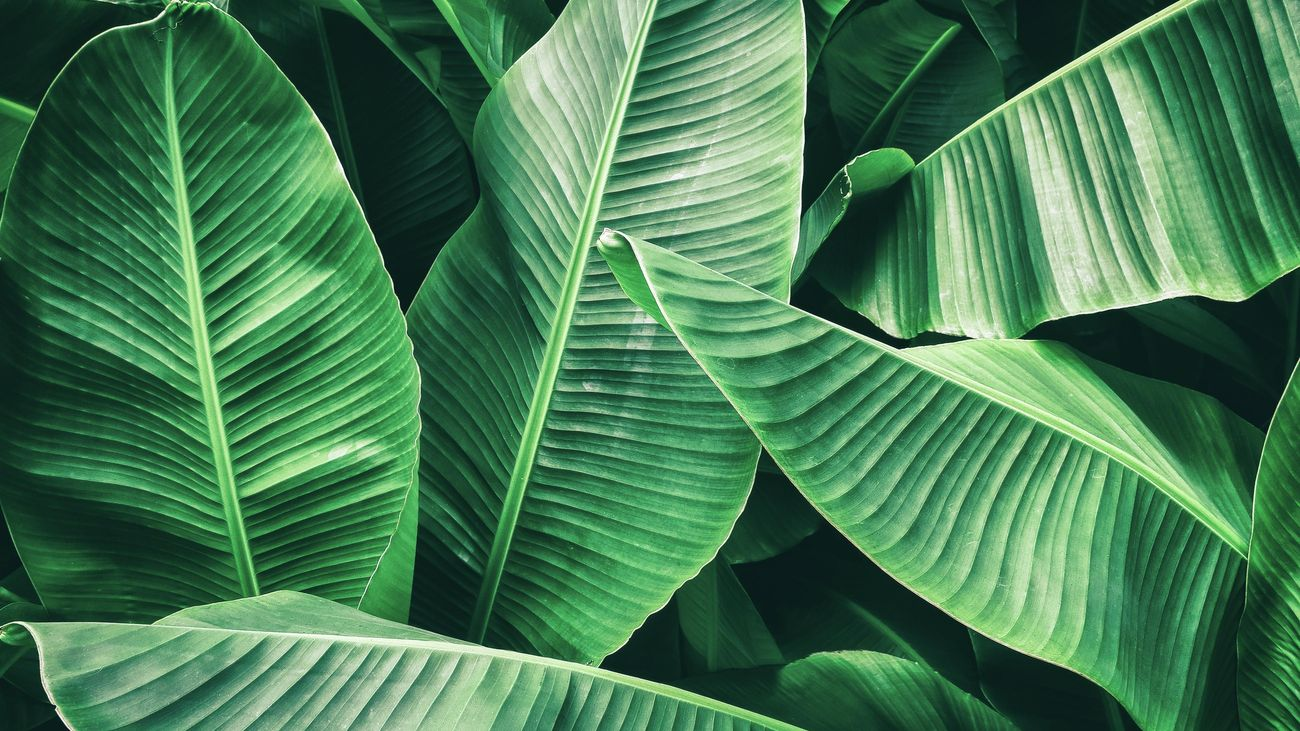 Close up of lush green textured banana leaves.