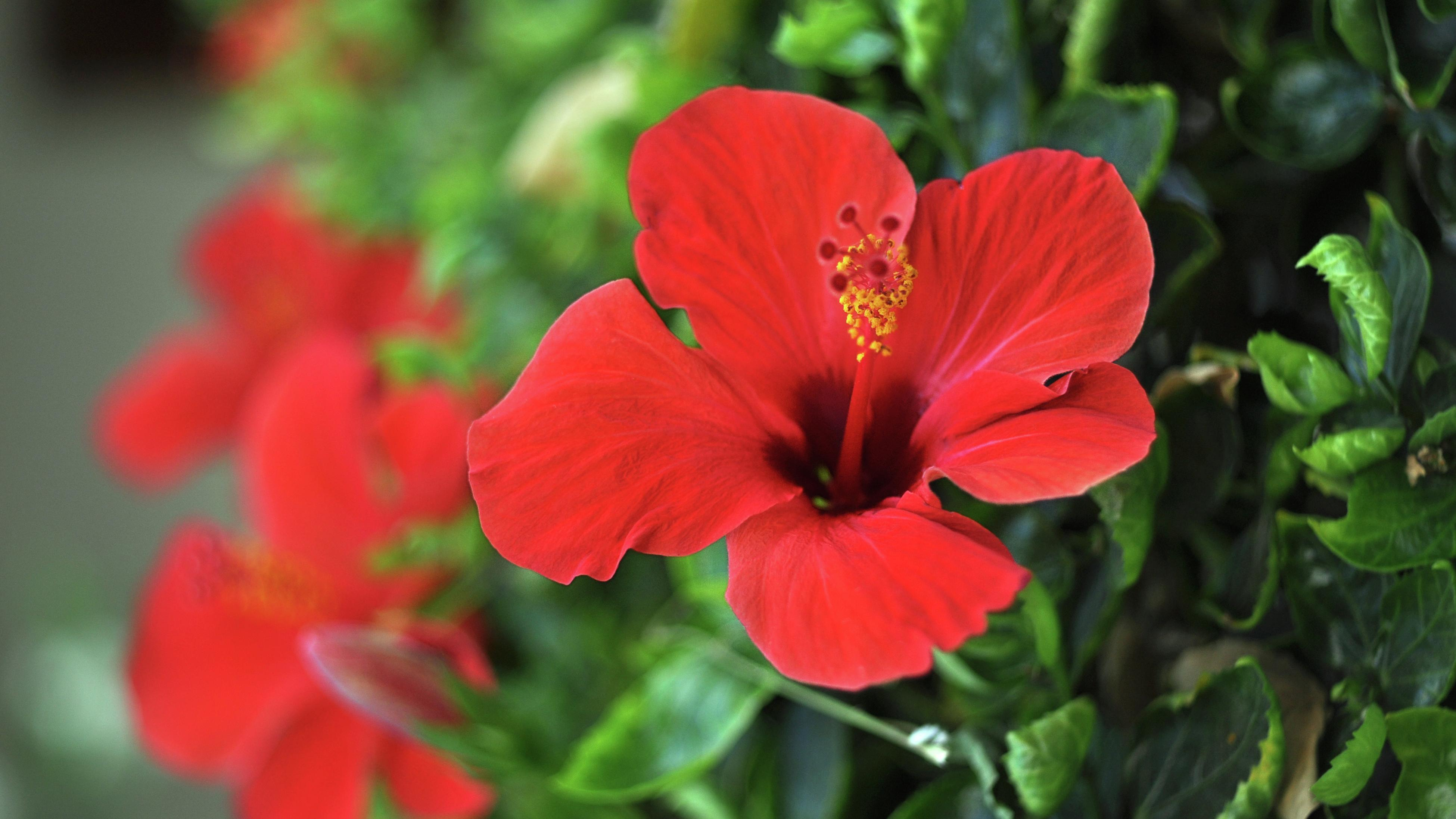 Close up of a red hibiscus flower.
