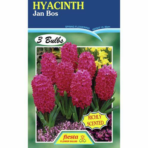 Fiesta Flower Bulbs Hyacinth Jan Bos - 3 Bulbs