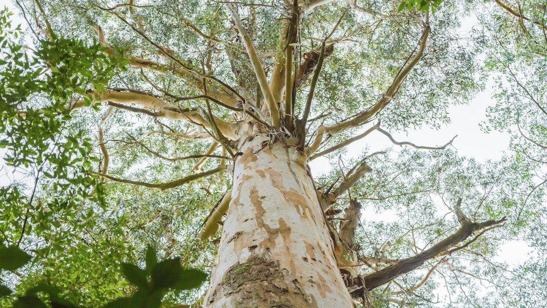 Australia Eucalyptus tree from a low angle