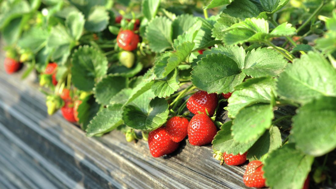 Close up of a strawberry plant.