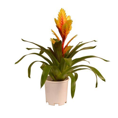 140mm Assorted Bromeliad - Vriesea hybrid