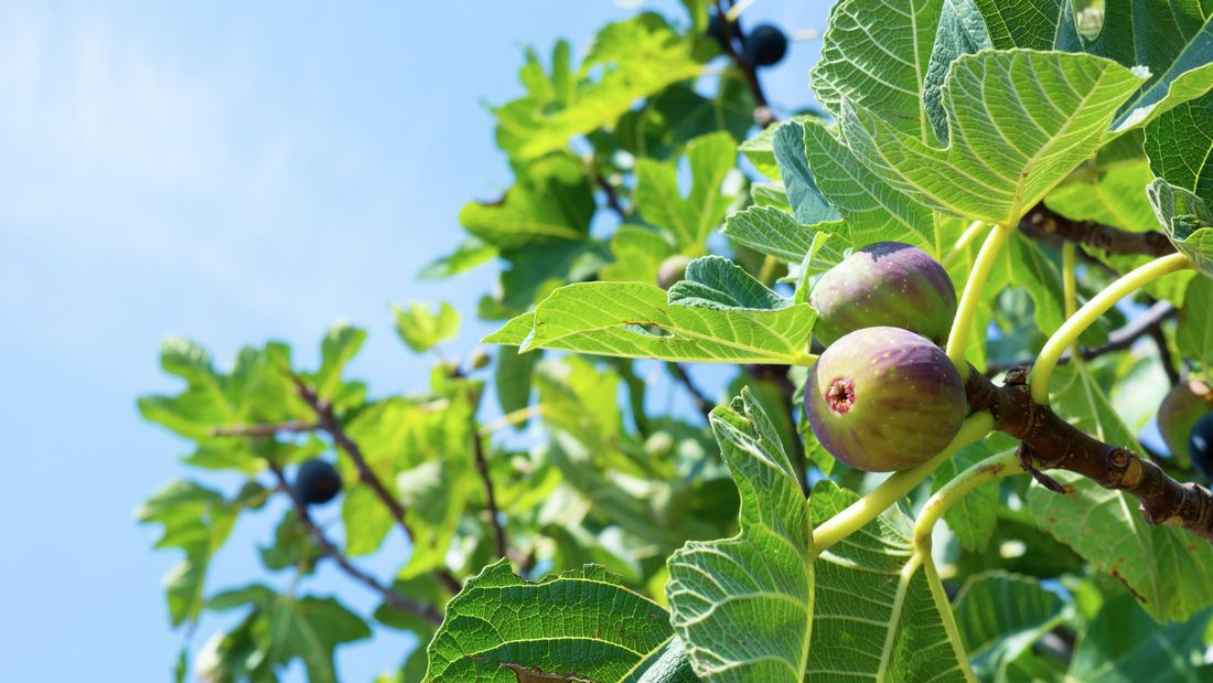 How To Plant Grow And Prune Fig Trees Bunnings Australia