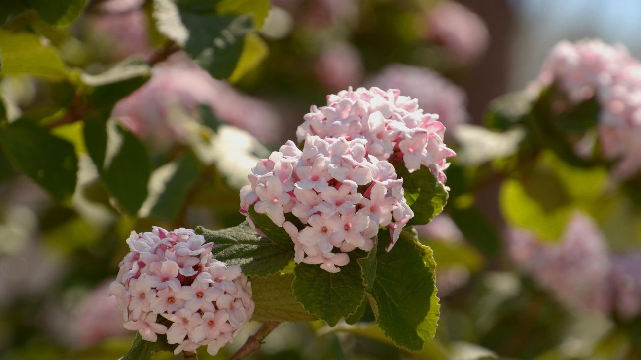 light pink viburnum flowers in a close up shot