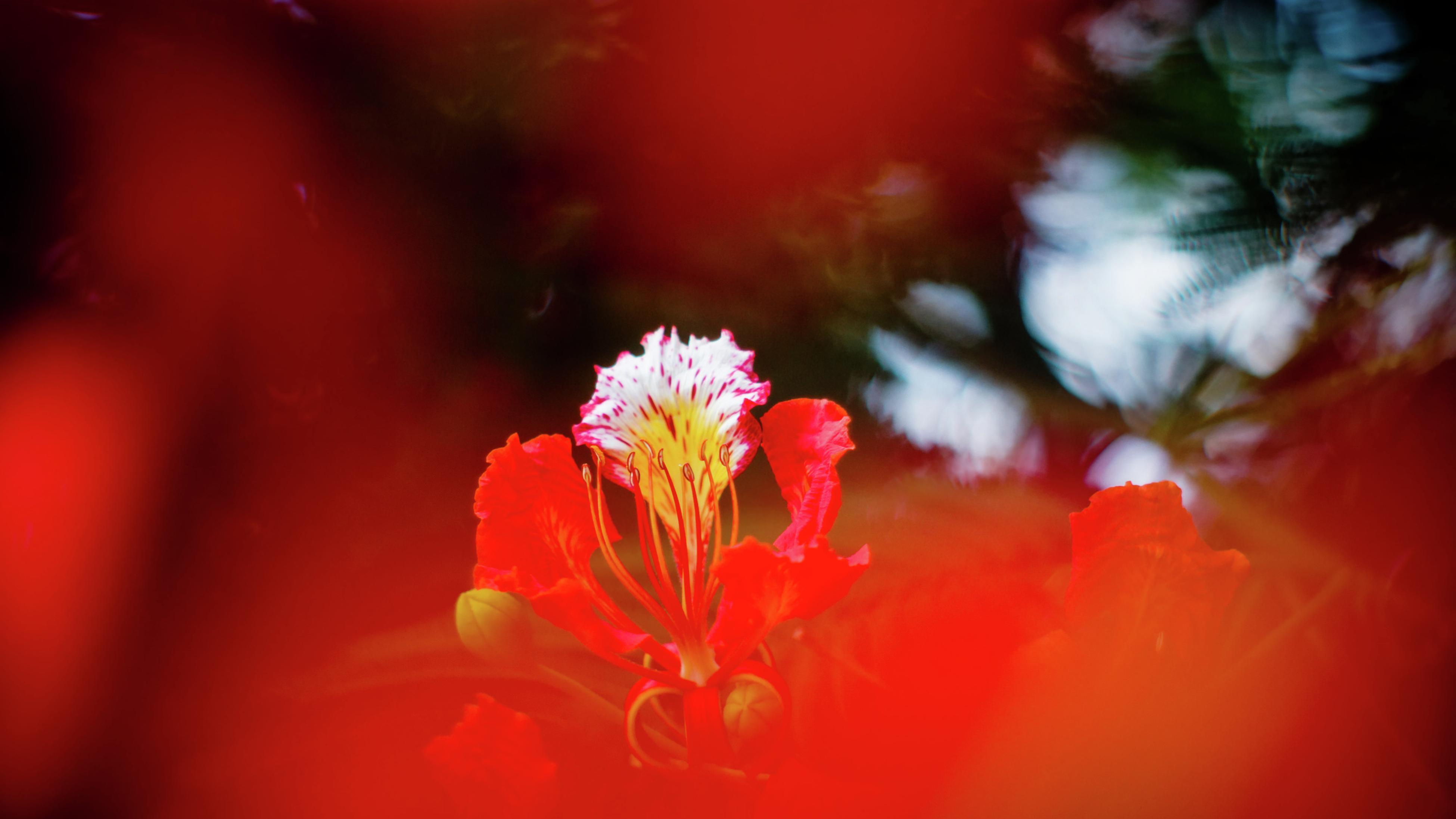 poinciana in flower