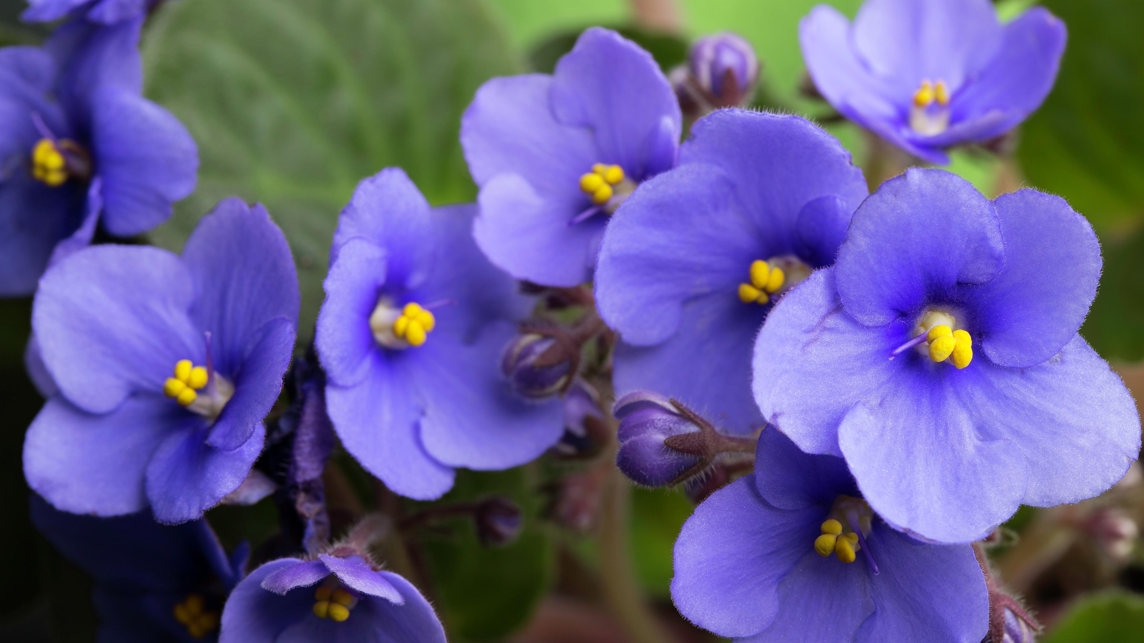 Close up of purple African violet flowers