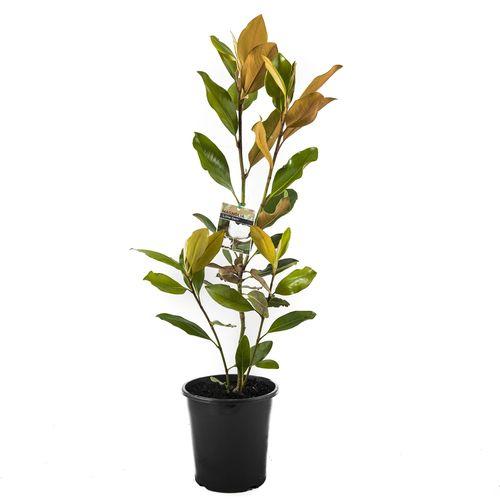 180mm Magnolia Little Gem - Magnolia grandiflora