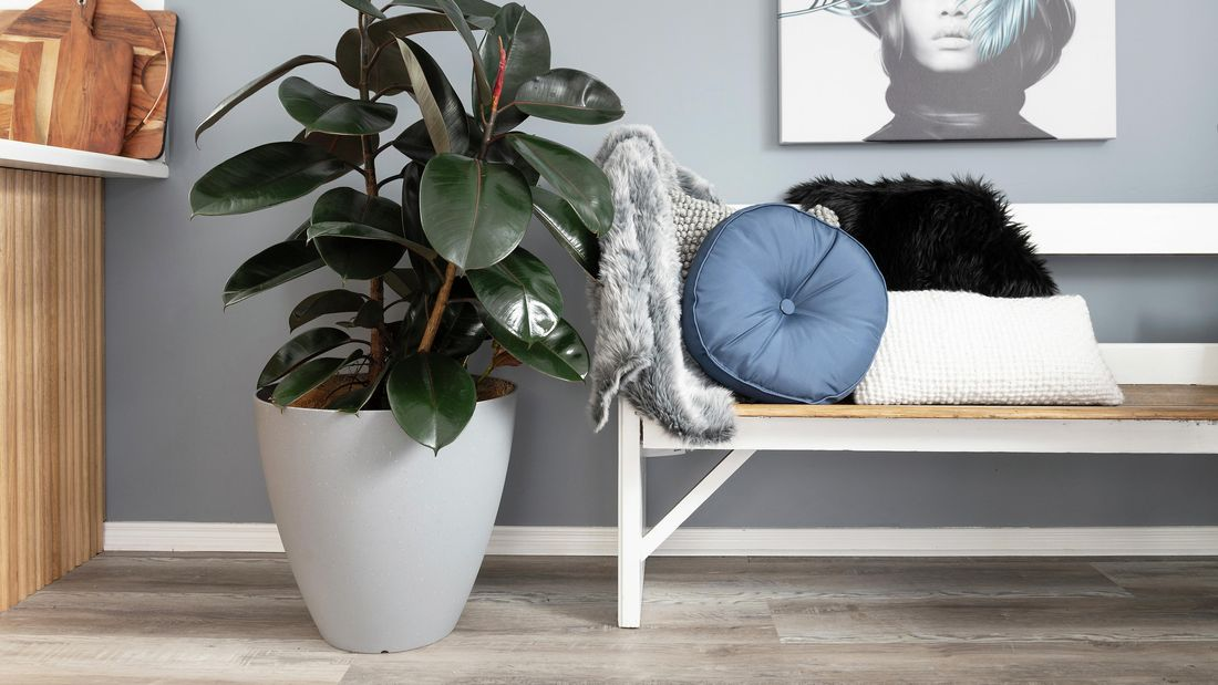A large rubber plant in a white pot next to a bench seat in a living room