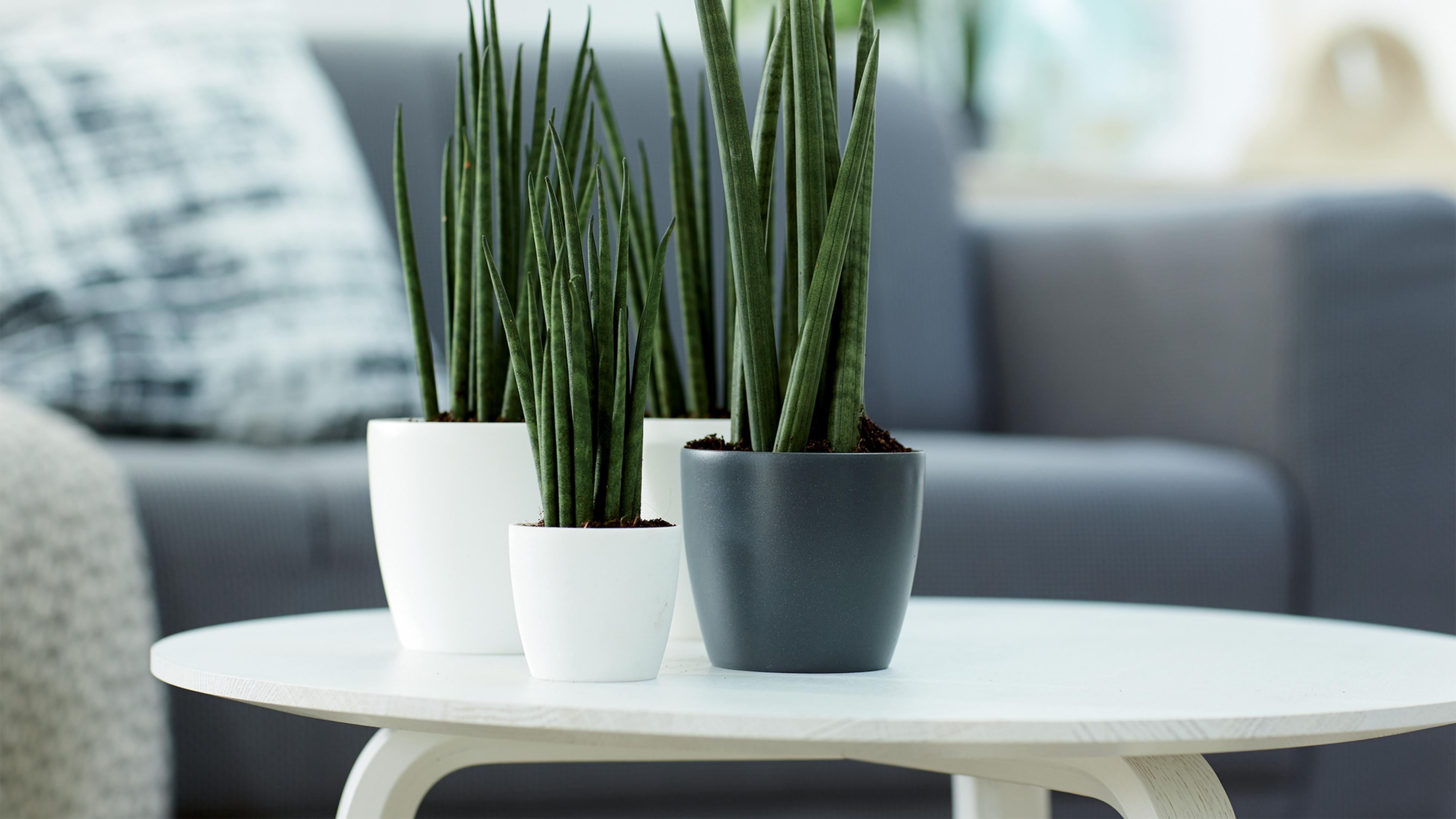 Sansevieria plant sitting on coffee table.