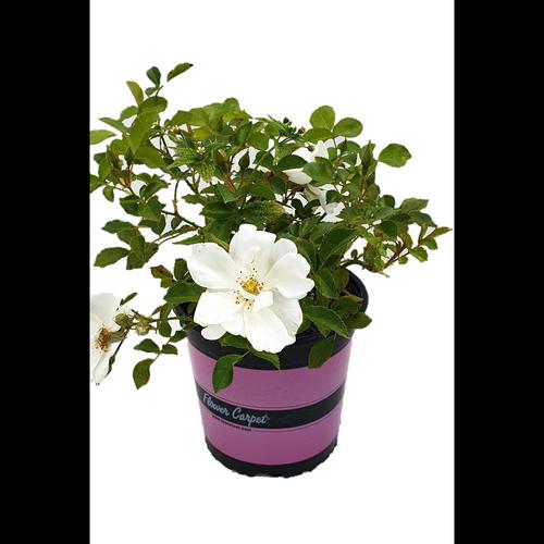 2.5L Carpet Rose White - Rosa Noaschnee