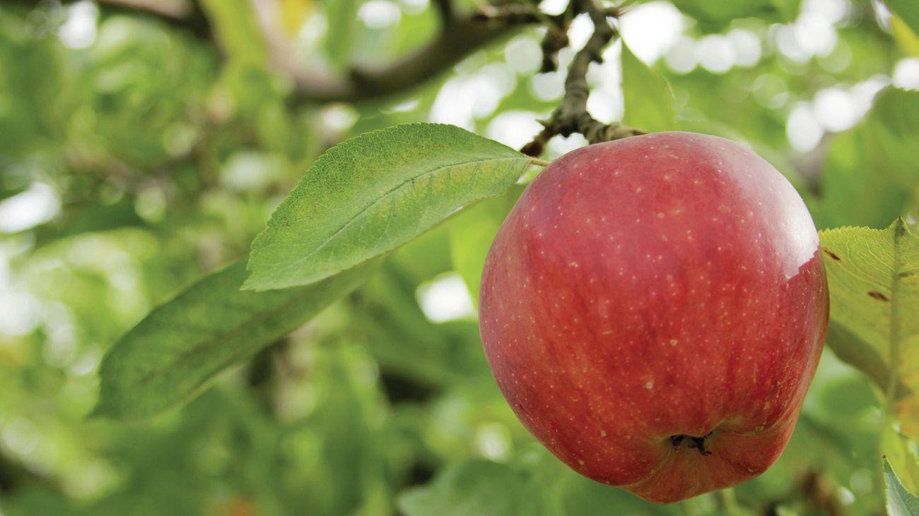 Red apple on tree.