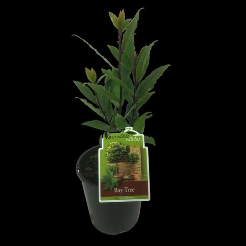 1.9L Bay tree - Lauris Nobilis- incredible edibles®