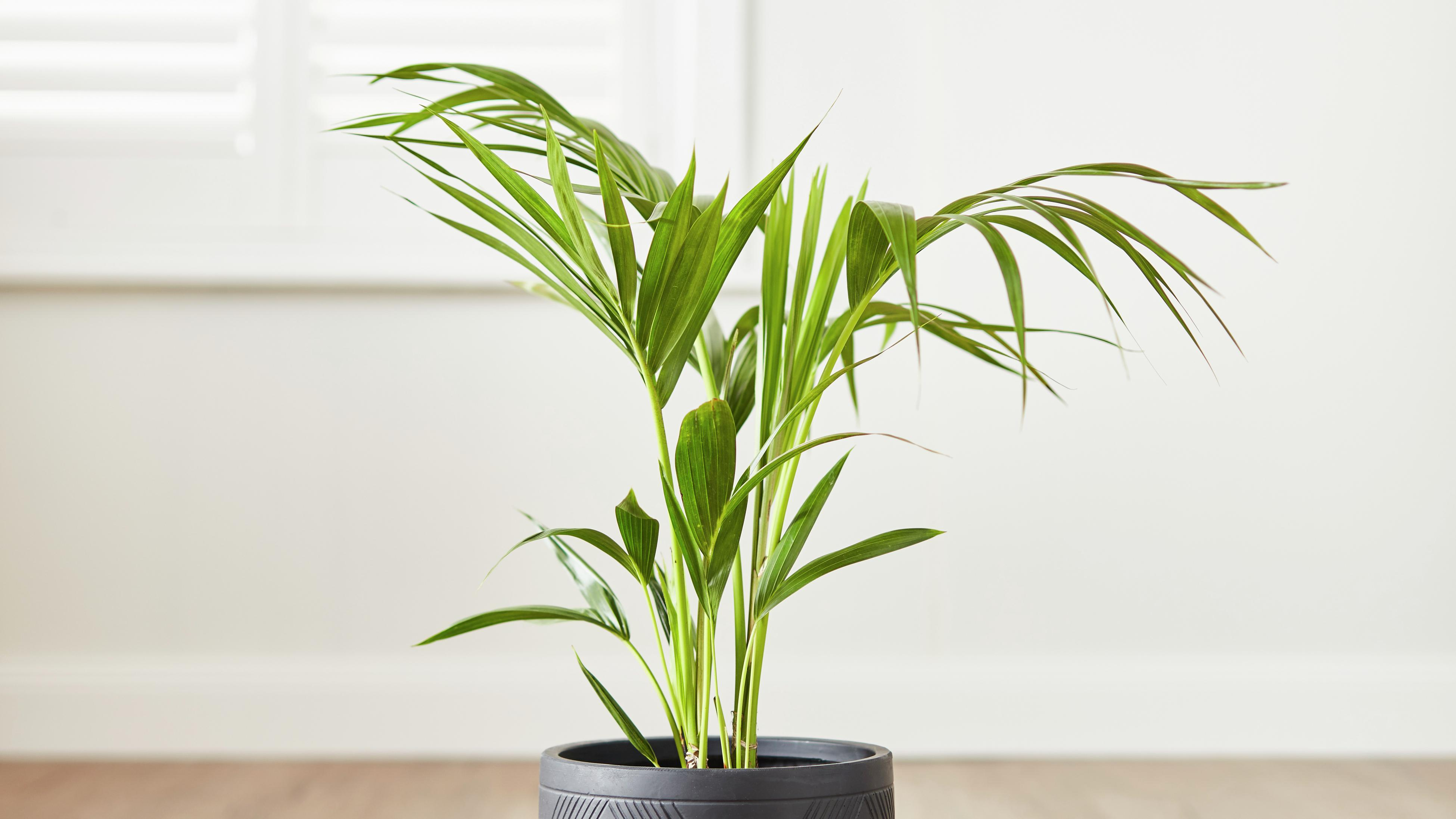The Rhapis palm in a black pot.