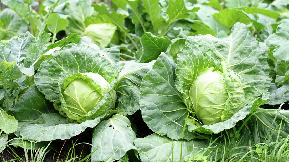 Two cabbages growing in a garden bed
