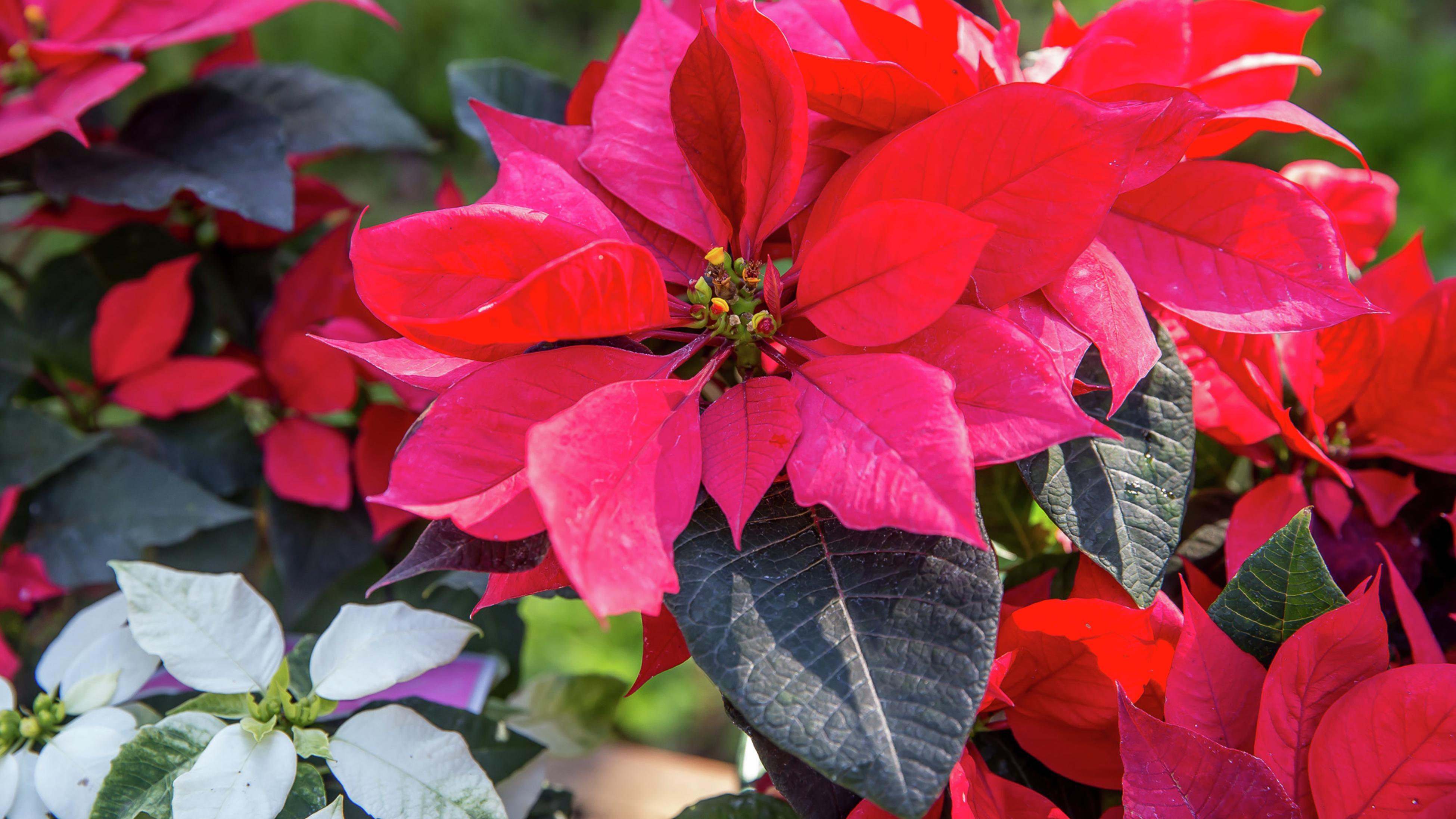 A close up of a red poinsettia flower with green leaves.