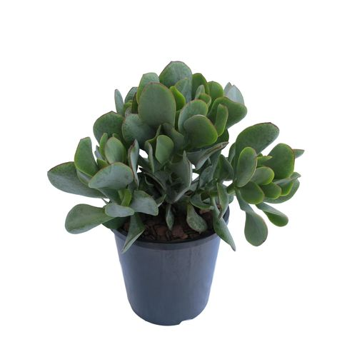 2.4L Silver Jade Plant - Crassula Arborescens Silver Jade Plant