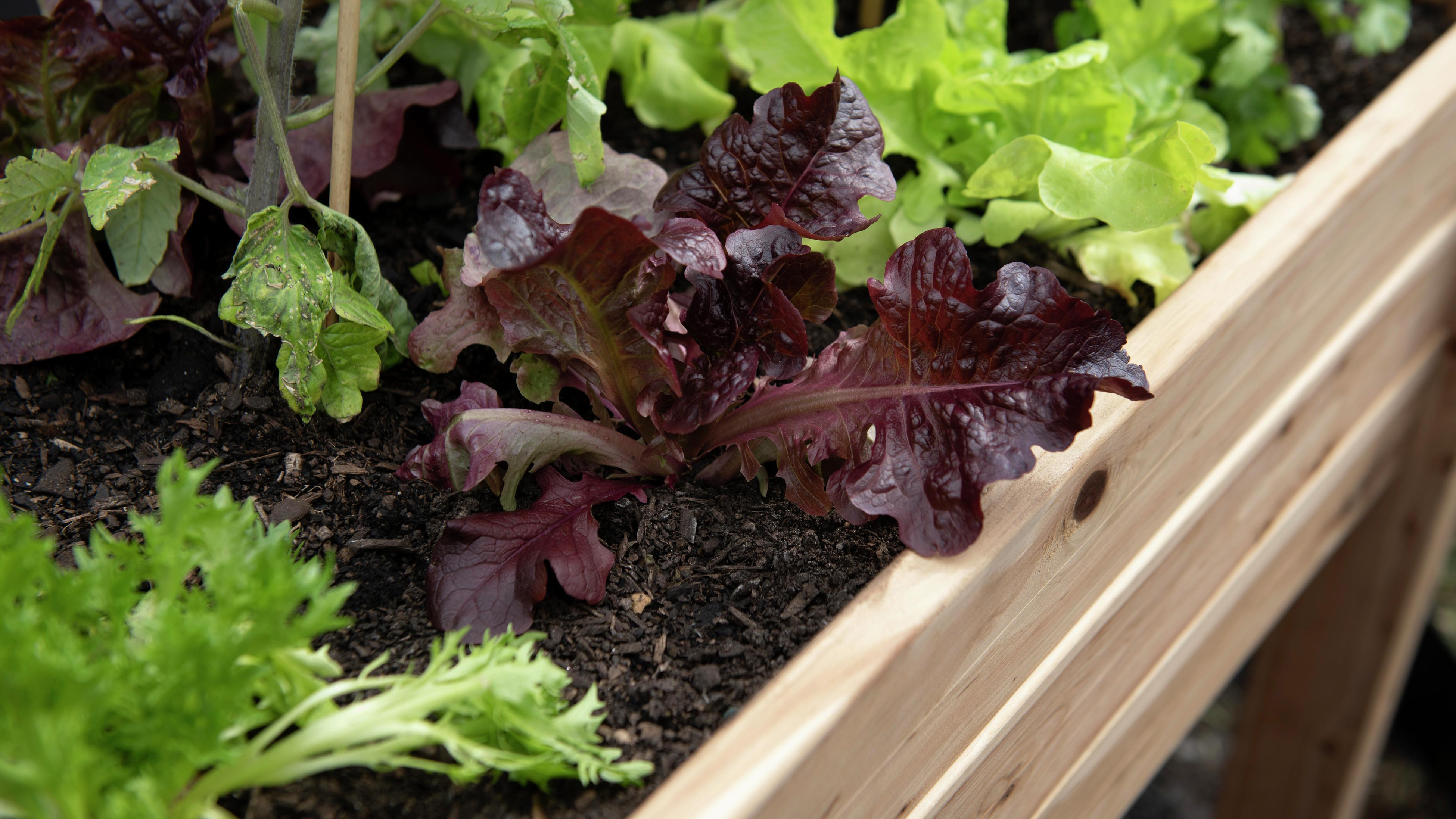Raised garden bed with lettuce growing in it.