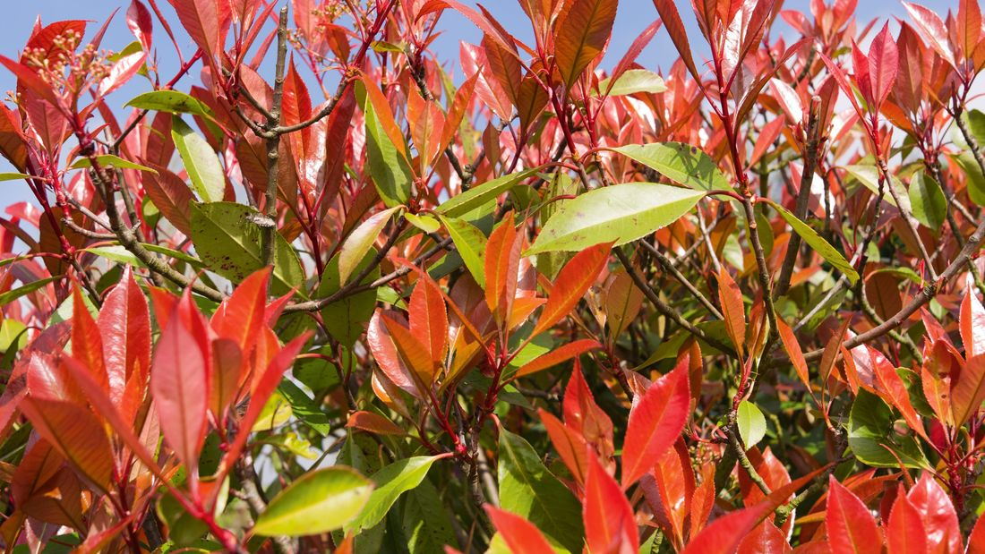 wide shot of red a photinia plant against a blue sky