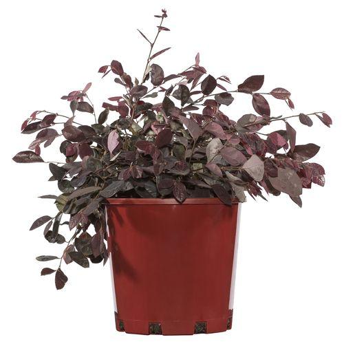 200mm Plum Delight Chinese Fringe Flower - Loropetalum chinense