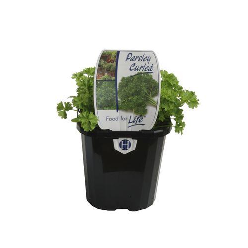 125mm Parsley Curled - Petroselinum crispum - Food For Life Range