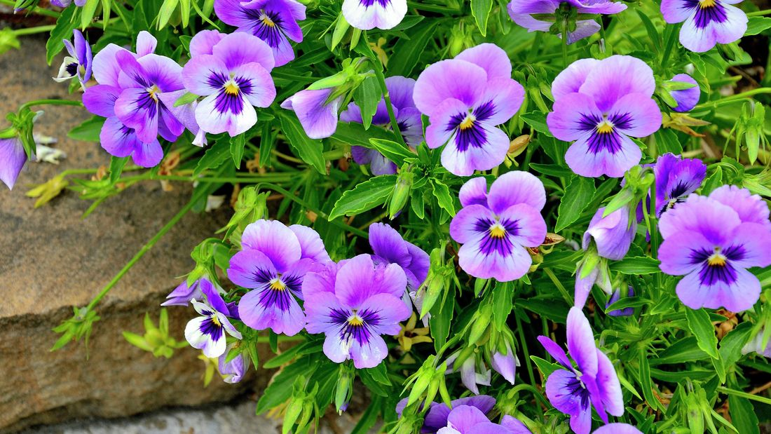 Pansies with purple and yellow flowers