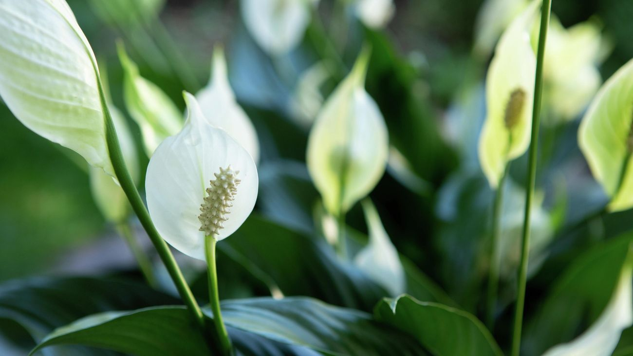 Close up of a peace lily in flower.