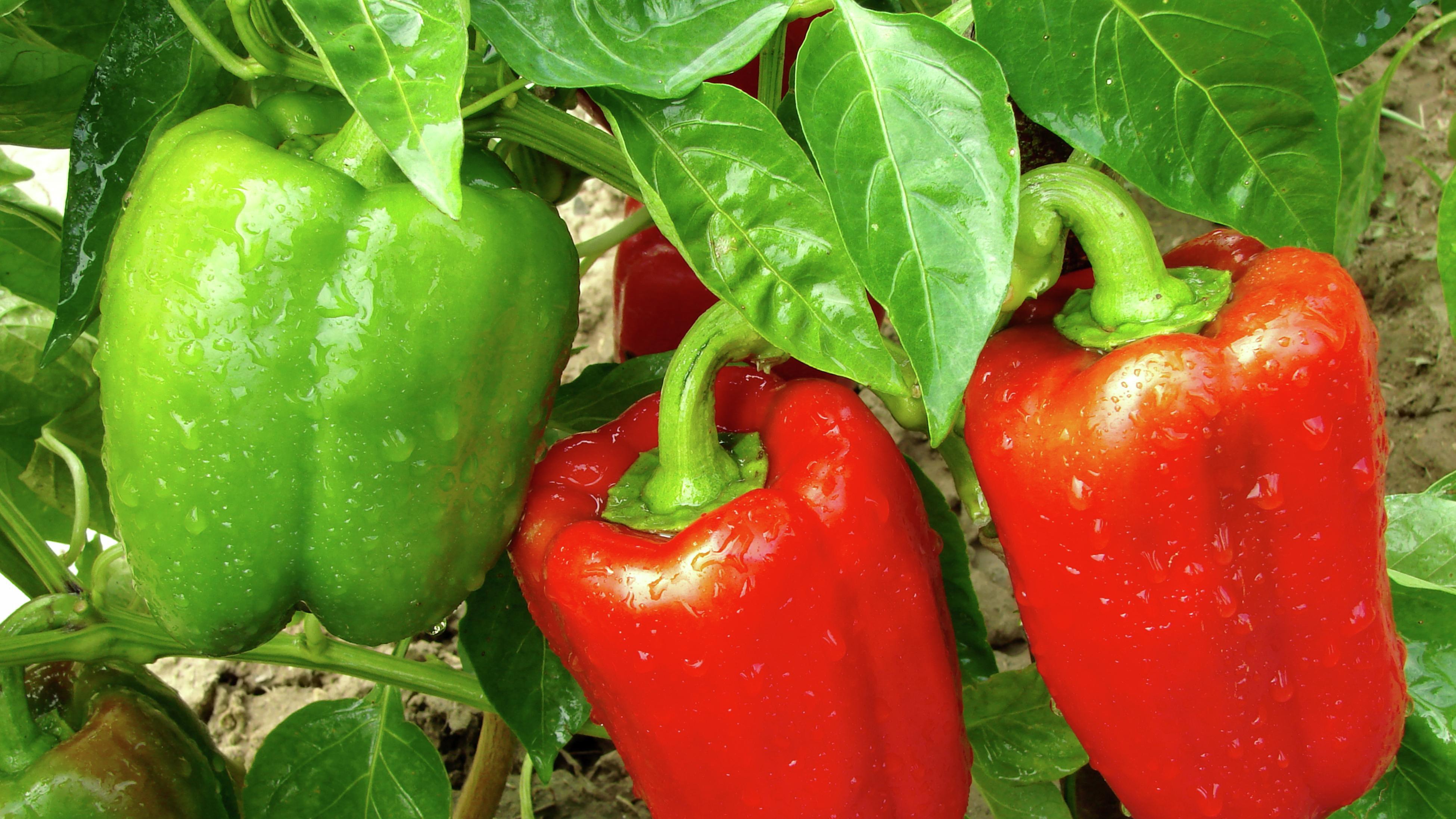 Close up of capsicums