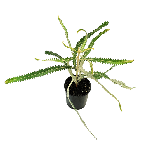 140mm Banksia Dwarf Acorn - Banksia prionotes Dwarf