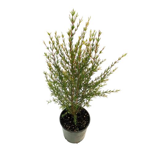 140mm Boronia Purple Jared - Boronia hetrophylla x megastigma