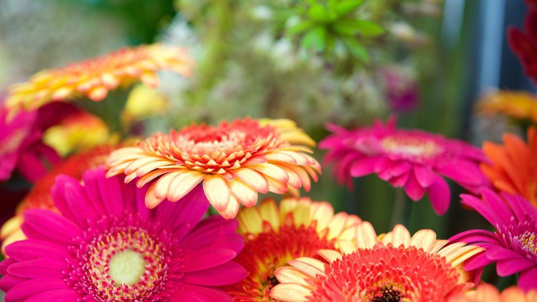 brightly coloured gerbera flowers