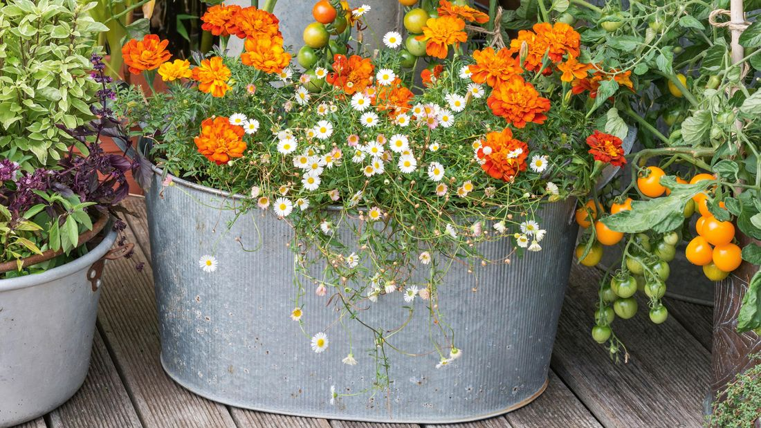 Tomatoes and flowers planted in a galvanised repurposed planter