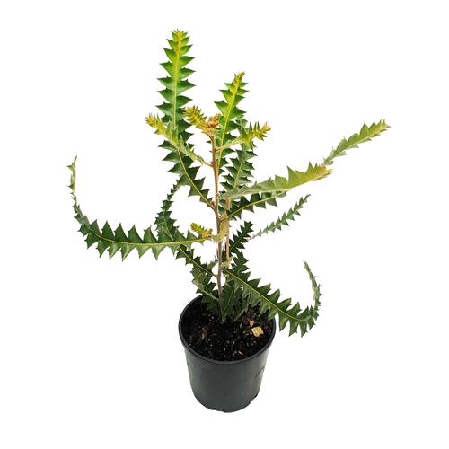140mm Banksia - Banksia ashbyi Dwarf