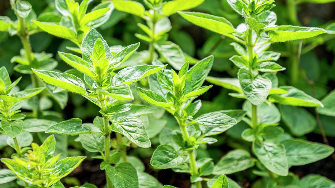 oregano plants