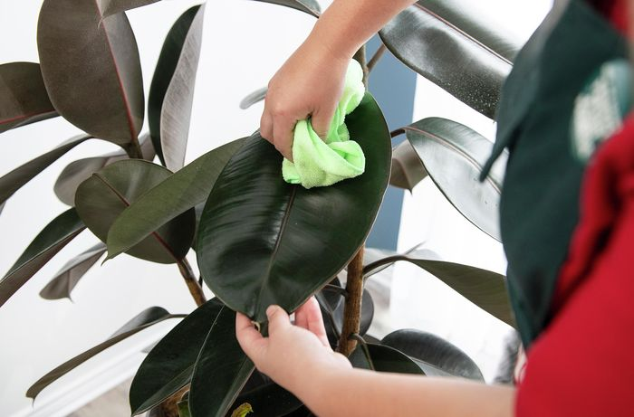 A person wiping a leaf of a rubber plant