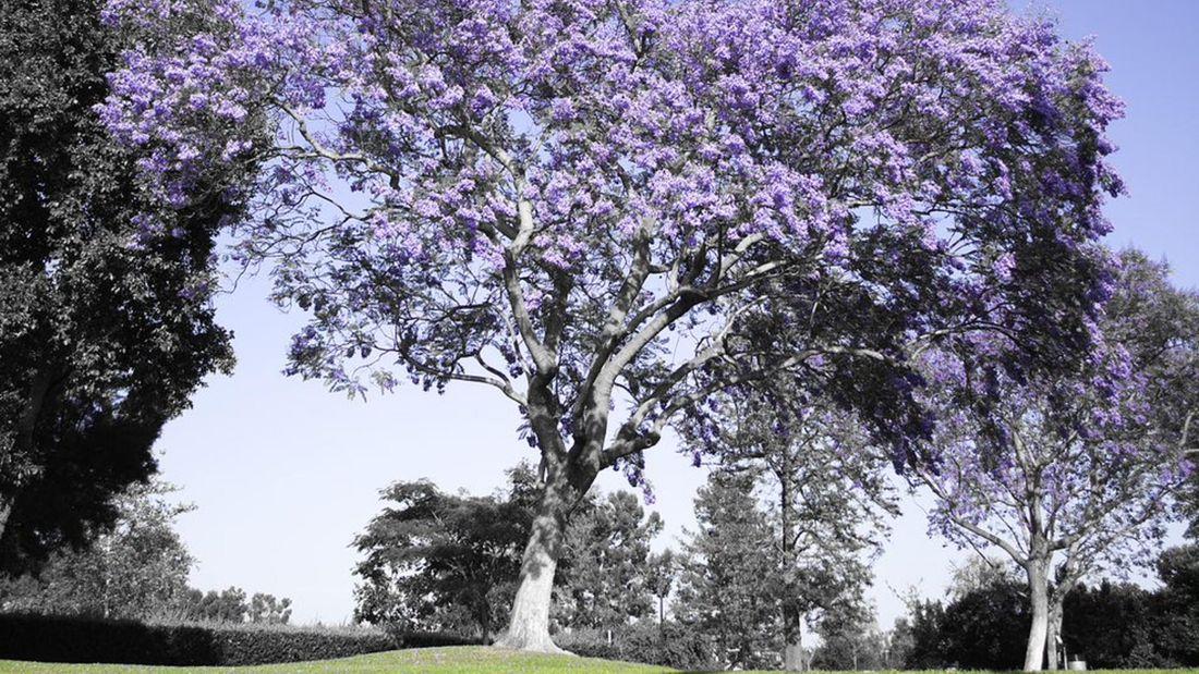 A purple flowering jacaranda tree in the park.