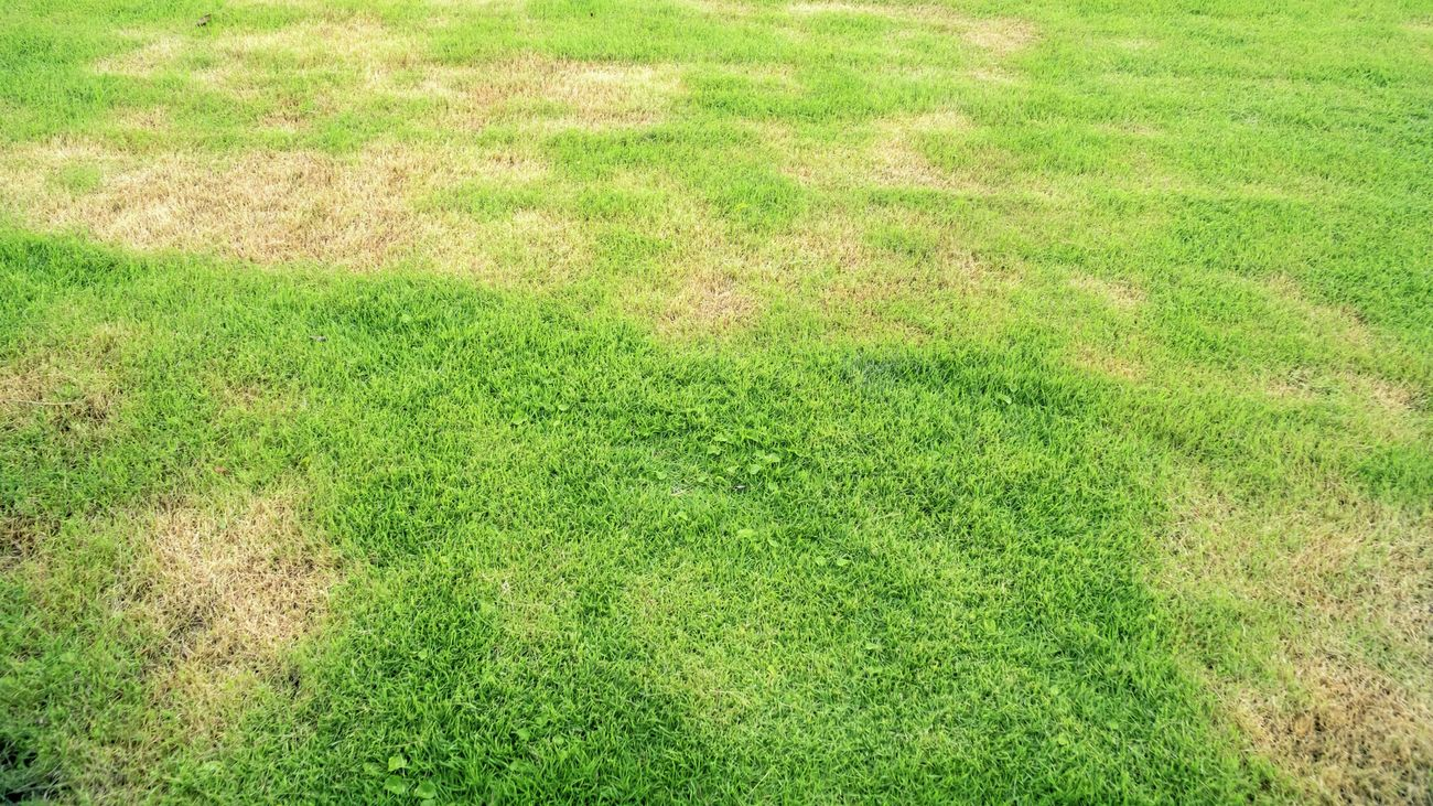 An area of grass with faded brown patches
