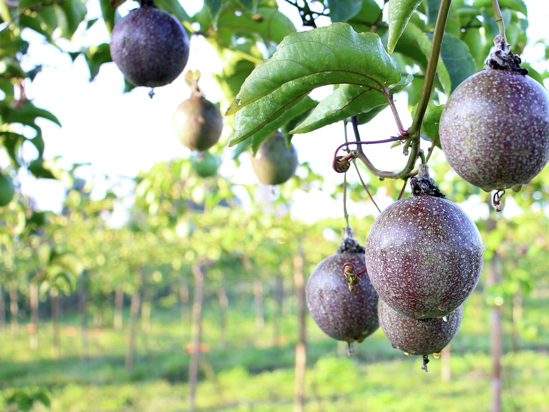 Hanging passionfruit on passion fruit tree