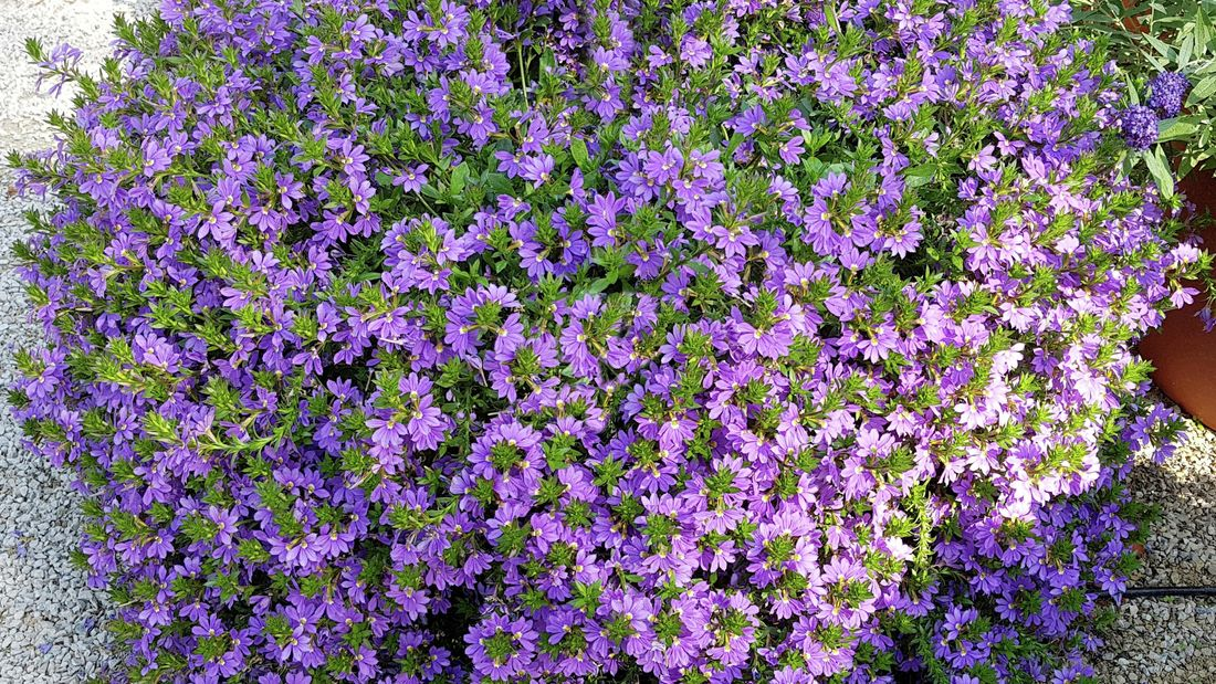 A round bush with purple flowers beside a gravel pathway
