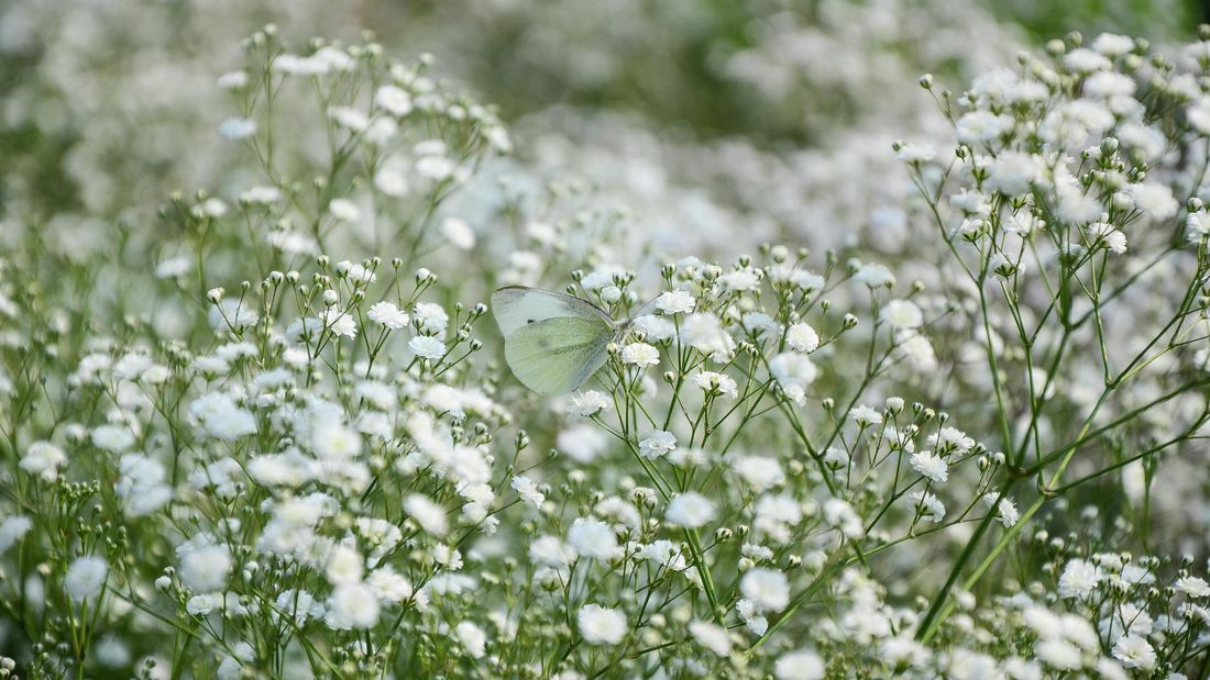 White flowers of baby's breath growing in a garden